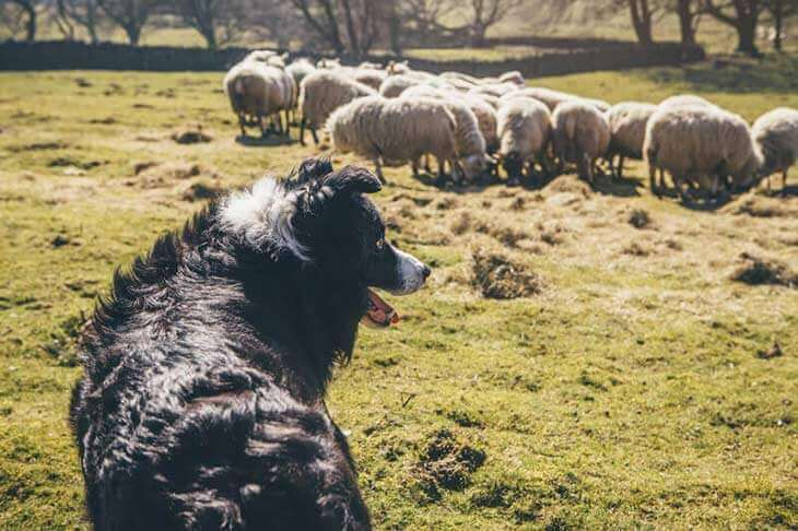 border collie watching over sheep in a field